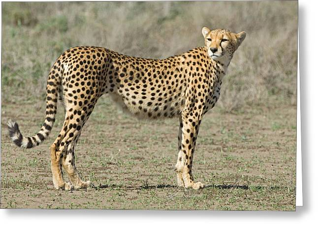 Acinonyx Greeting Cards - Side Profile Of A Cheetah, Ngorongoro Greeting Card by Panoramic Images