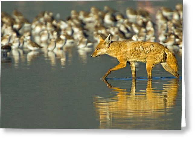 Sly Greeting Cards - Side Profile Of A Golden Jackal Wading Greeting Card by Panoramic Images