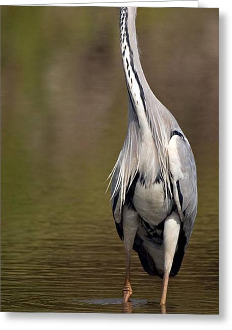 Grey Heron Greeting Cards - Side Profile Of A Grey Heron Ardea Greeting Card by Panoramic Images