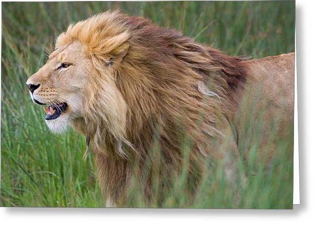 Feline Photography Greeting Cards - Side Profile Of A Lion In A Forest Greeting Card by Panoramic Images