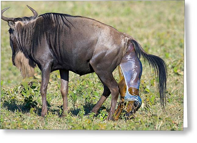 Conservation Area Greeting Cards - Side Profile Of A Wildebeest Giving Greeting Card by Panoramic Images