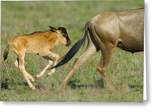 Two Tailed Photographs Greeting Cards - Side Profile Of A Wildebeest Greeting Card by Panoramic Images