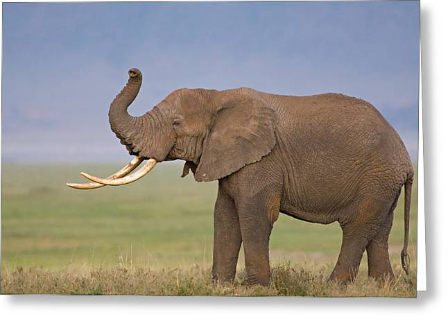 Craters Greeting Cards - Side Profile Of An African Elephant Greeting Card by Panoramic Images
