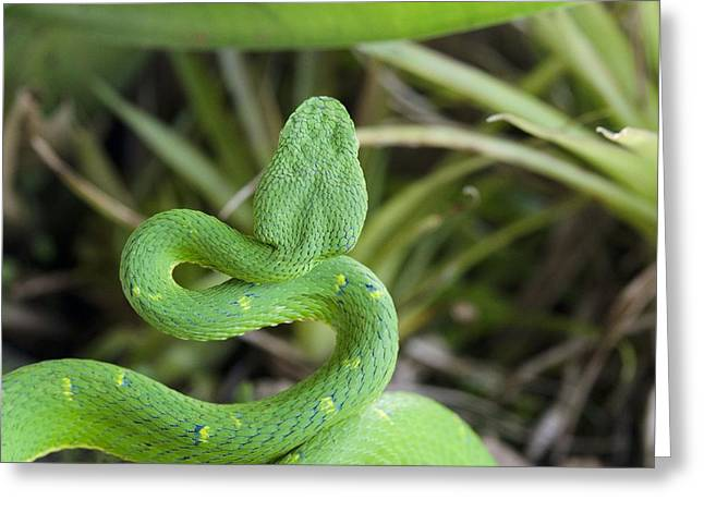 Bothriechis Greeting Cards - Side-striped palm viper Greeting Card by Science Photo Library
