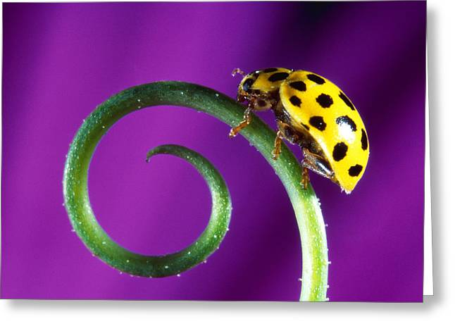 Side View Close Up Of Yellow Ladybug Greeting Card by Panoramic Images