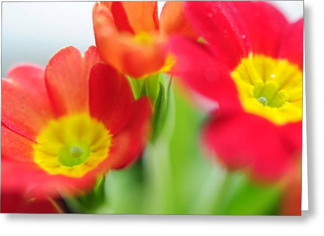 Primroses Photographs Greeting Cards - Sign of Spring II. Primrose Greeting Card by Jenny Rainbow