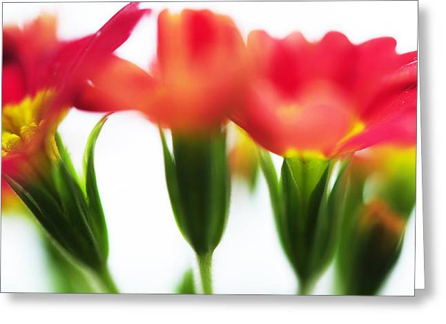 Primroses Photographs Greeting Cards - Sign of Spring III. Primrose Greeting Card by Jenny Rainbow