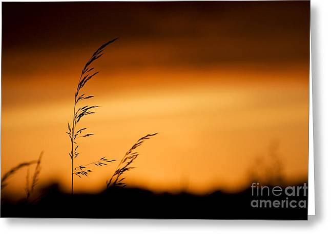 Seedhead Greeting Cards - Silhouette Grasses  Greeting Card by Tim Gainey