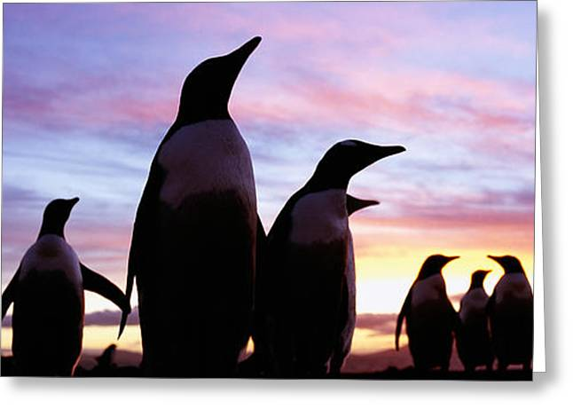 Sea Birds Greeting Cards - Silhouette Of A Group Of Gentoo Greeting Card by Panoramic Images