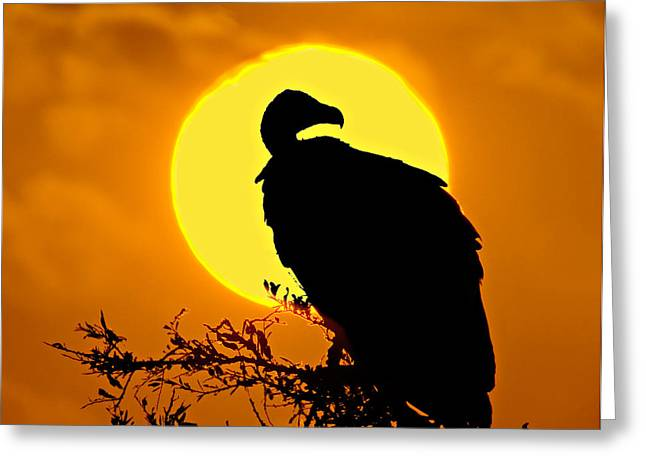 Reserve Greeting Cards - Silhouette Of A Vulture Perching Greeting Card by Panoramic Images