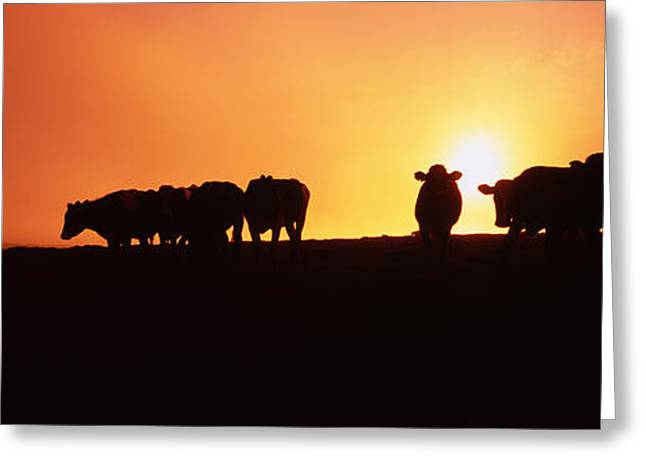 Medium Group Of Animals Greeting Cards - Silhouette Of Cows At Sunset, Point Greeting Card by Panoramic Images