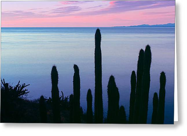 Sunrise Over California Greeting Cards - Silhouette Of Pitaya And Cardon Cactus Greeting Card by Panoramic Images