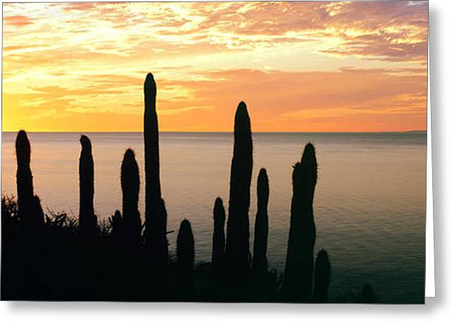 Baja California Greeting Cards - Silhouette Of Pitaya Cactus Greeting Card by Panoramic Images