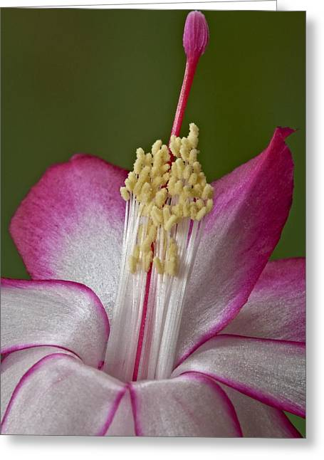Christmas Cactus Greeting Cards - Silk Petals Greeting Card by Susan Candelario