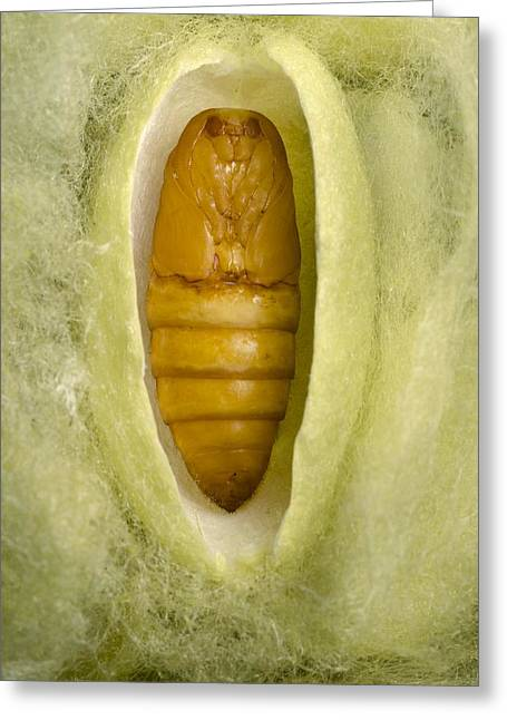 Cocoon Greeting Cards - Silkmoth cocoon Greeting Card by Science Photo Library