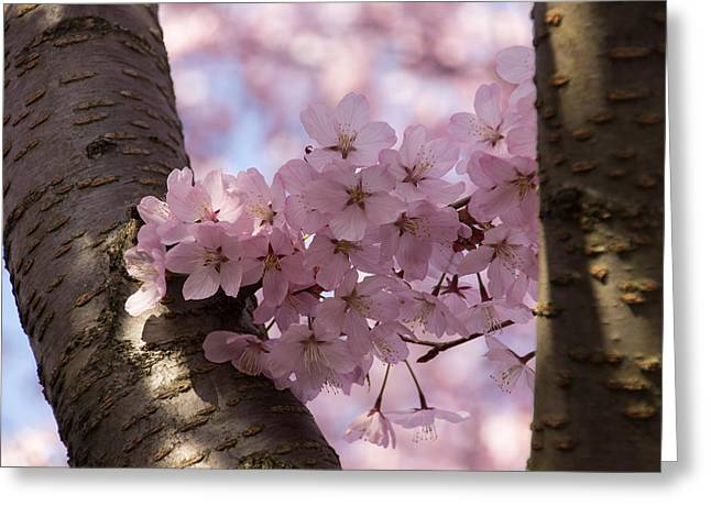 March Greeting Cards - Silver Bark and Pink Blossoms Greeting Card by Georgia Mizuleva