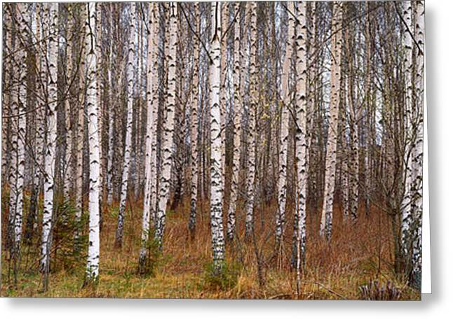 Birch Tree Greeting Cards - Silver Birch Trees In A Forest, Narke Greeting Card by Panoramic Images