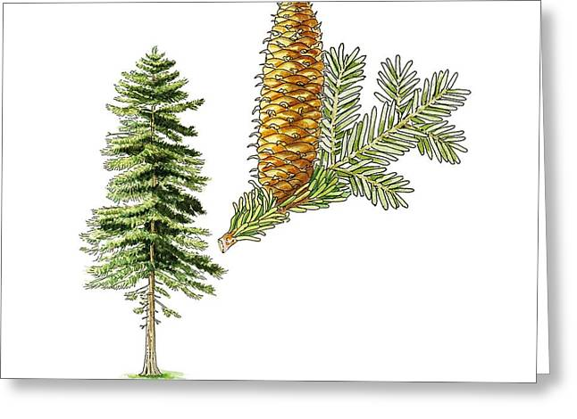 Pine Cones Greeting Cards - Silver fir (Abies alba) tree, artwork Greeting Card by Science Photo Library