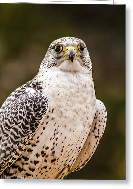 Majestic Falcon Greeting Cards - Silver Gerfalcon Greeting Card by Teri Virbickis