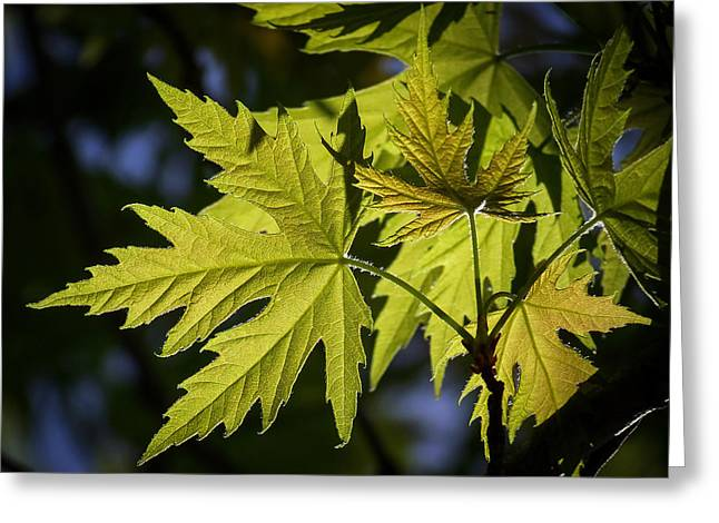 Silver Greeting Cards - Silver Maple Greeting Card by Ernie Echols