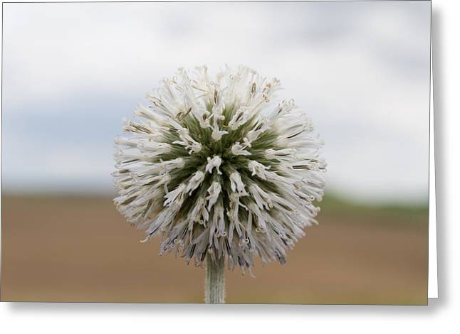 Silver Thistle Greeting Card by Andreas Levi