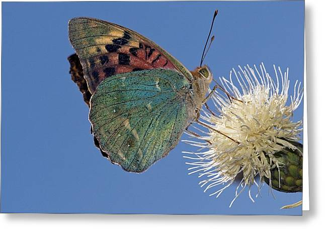 Blue Thistles Greeting Cards - Silver-washed fritillary butterfly Greeting Card by Science Photo Library