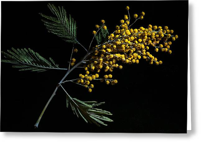 Wattle Greeting Cards - Silver Wattle Flowers Greeting Card by Alexander Senin