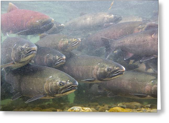 Chinook Salmon Greeting Cards - Silvers and Kings Greeting Card by Tim Grams
