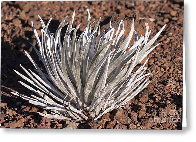 Greensward Greeting Cards - Silversword Leaves Greeting Card by Bob Phillips