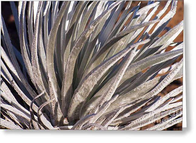 Greensward Greeting Cards - Silversword Detail Greeting Card by Bob Phillips