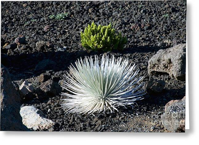 Greensward Greeting Cards - Silversword Plant Greeting Card by Bob Phillips
