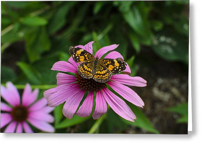Checkerspot Greeting Cards - Silvery Checkerspot butterfly on Echinacea 1 Greeting Card by Steve Samples