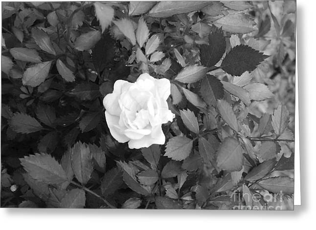 Rose Pleasure Greeting Cards - Simplicity Of A Flower Greeting Card by Cynthia Baker