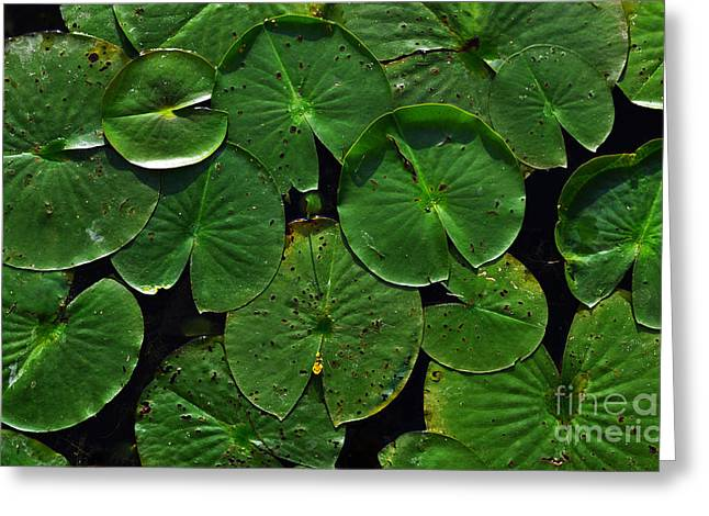 Indiana Lily Greeting Cards - Simply Lilly Pads Greeting Card by Amy Lucid