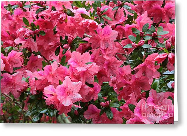 Raindrops On Flowers Greeting Cards - Simply Pink Azaleas Greeting Card by Carol Groenen