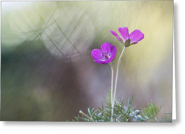 Purple Geranium Greeting Cards - Simply Purple Greeting Card by Constance Fein Harding
