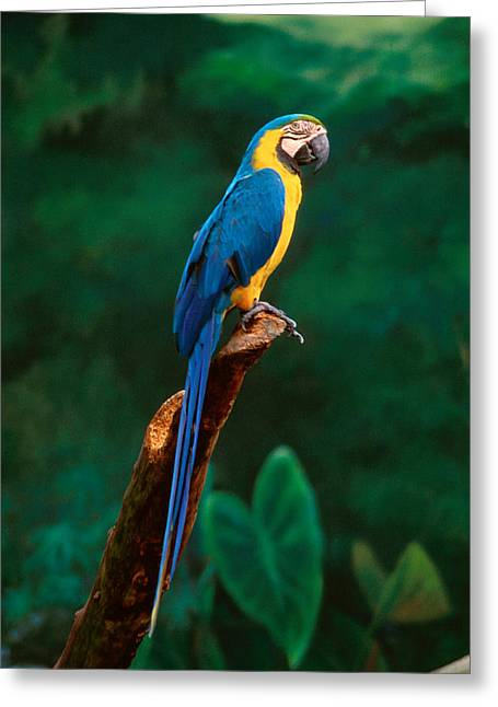 Parrot Greeting Cards - Singapore Macaw At Jurong Bird Park  Greeting Card by Anonymous