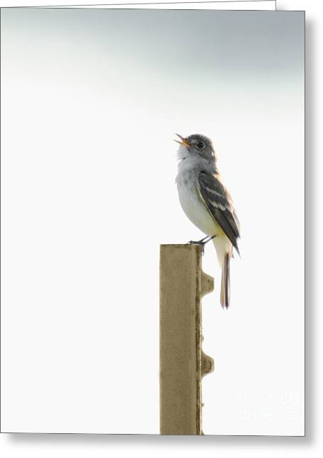 Ornithology Greeting Cards - Singing Flycatcher Greeting Card by Anita Oakley