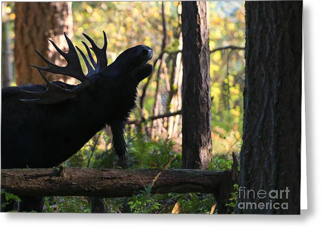 Moose Bull Greeting Cards - Singing Moose Greeting Card by Mike Dawson