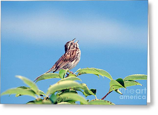 Sparrow Greeting Cards - Singing Song Sparrow Greeting Card by John W Bova
