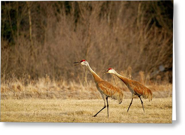 Sandhill Cranes Greeting Cards - Singing Songs of Spring Greeting Card by Thomas Young