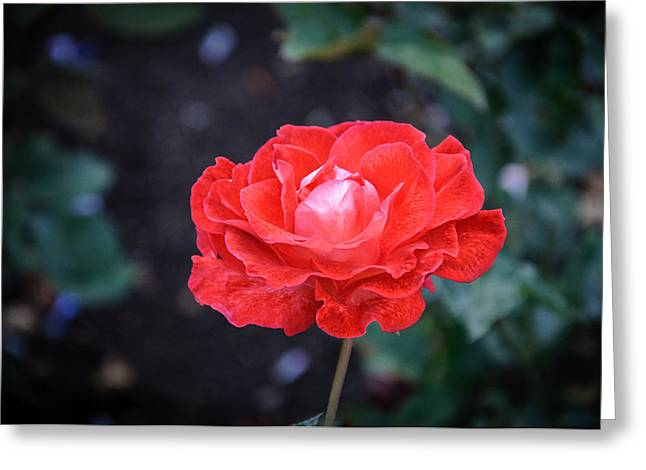 Rose Petals Greeting Cards - Single Beauty Greeting Card by Roxy Hurtubise