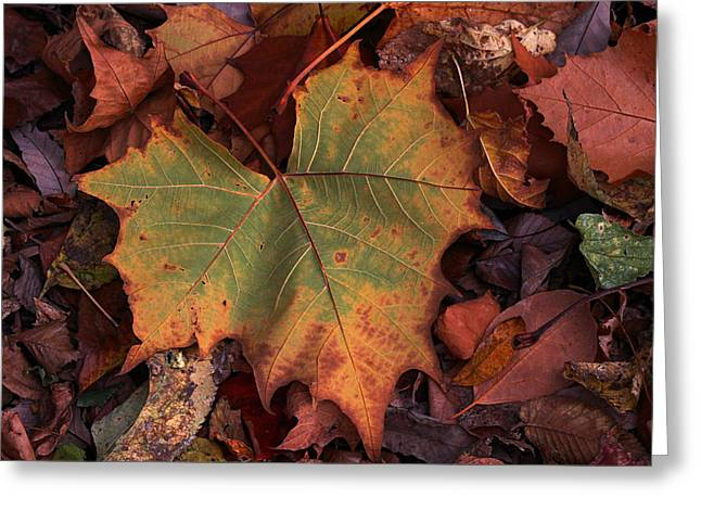 Becky Greeting Cards - Single leaf Greeting Card by Becky Lodes