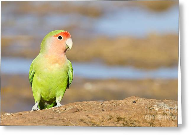 Rosy-faced Lovebird Greeting Cards - Single love bird seeks same Greeting Card by Bryan Keil