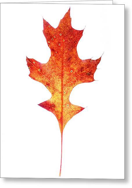 Turning Leaves Greeting Cards - Single Oak Leaf Greeting Card by Chris Bordeleau