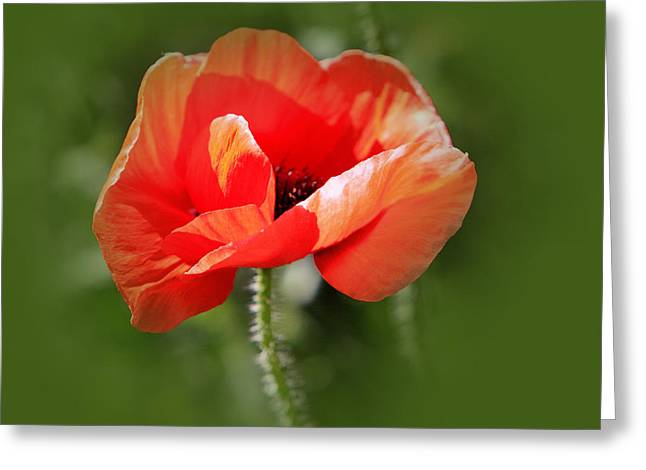 Nature Center Greeting Cards - Single orange Poppy in Green Greeting Card by Linda Phelps