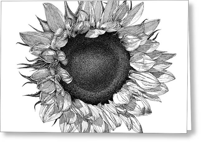 Thin Drawings Greeting Cards - Single Sunflower Greeting Card by William Beauchamp