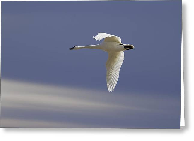 Flying Swan Greeting Cards - Single Swan In Flight Greeting Card by Thomas Young