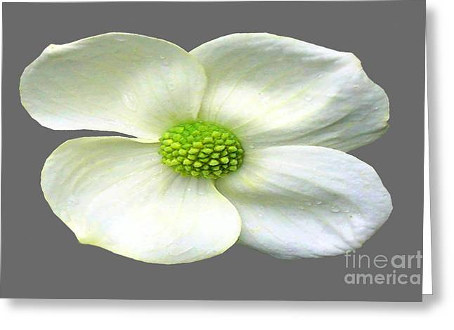 Installation Art Greeting Cards - Single White Dogwood Bloom Greeting Card by Tina M Wenger