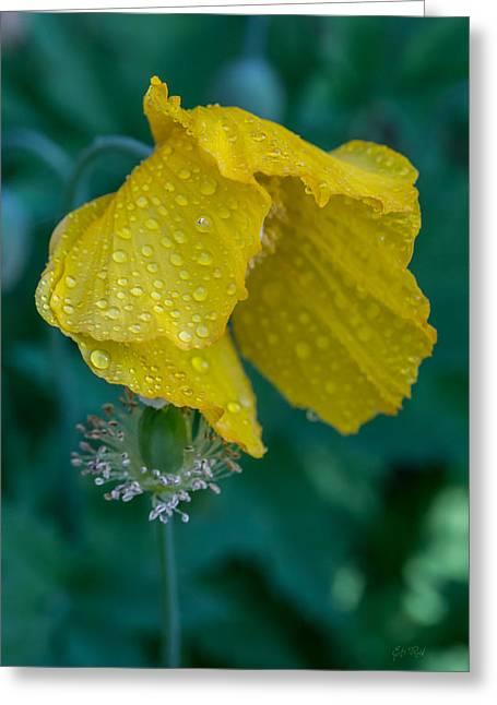 Stamen Digital Art Greeting Cards - Single yellow poppy Greeting Card by Eti Reid